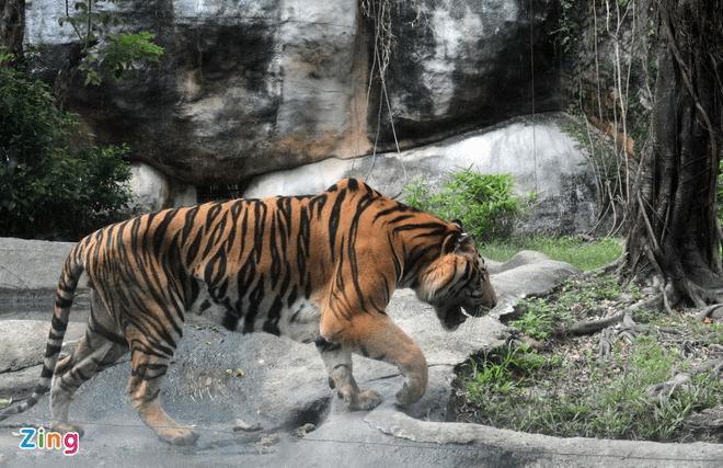 Ngắm hổ tại vườn thú Đại Nam