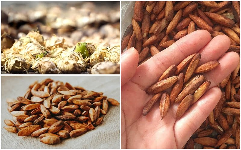 Mứt hạt bàng Côn Đảo- Món ăn ngon tại Vũng Tàu